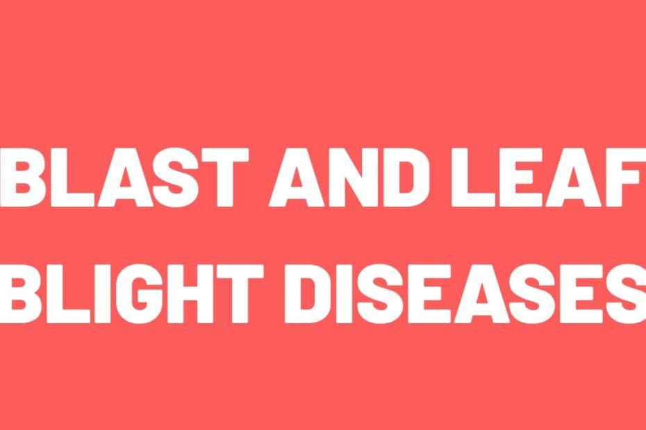 blast and leaf blight disease