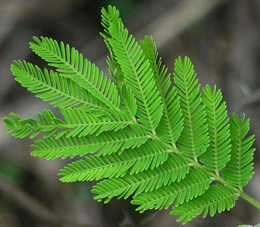 babul leaves